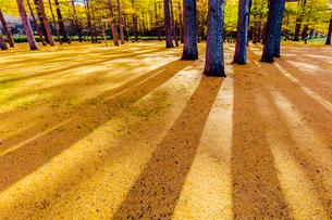 奥日光,黄葉のカラマツ林と落ち葉の写真素材 [FYI01429892]