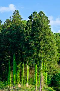 蔦が巻きつくスギ林の写真素材 [FYI01429952]