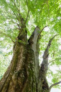 ハルニレの大木の写真素材 [FYI01430086]