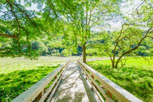 湯元温泉の 湯ノ平湿原に架かる木道 新緑と木漏れ日の写真素材 [FYI01430135]