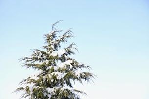 雪冠の杉の木の写真素材 [FYI01430231]