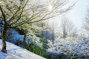 雪化粧の雑木林と太陽光の写真素材 [FYI01430388]