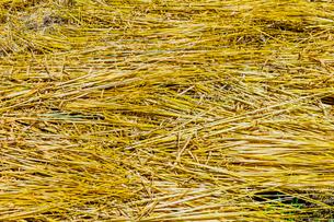 刈り取り後に畑に敷かれたムギ藁の写真素材 [FYI01430558]
