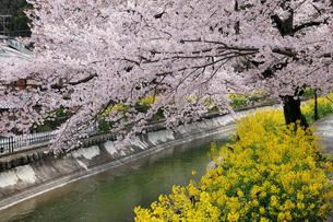 桜咲く山科疎水の写真素材 [FYI01433533]