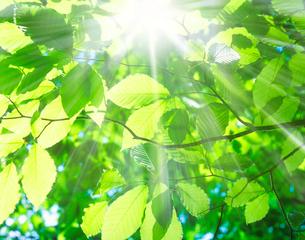 美人林のブナの木の若葉の写真素材 [FYI01441615]
