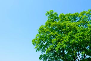 高尾山のイヌブナの木の写真素材 [FYI01441640]
