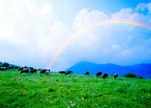 虹と牧場のホルスタインの写真素材 [FYI01441658]