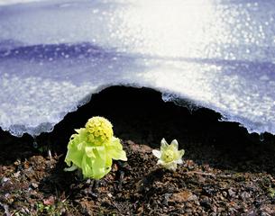 残雪とフキノトウの写真素材 [FYI01441669]