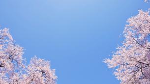 青空と満開のソメイヨシノの写真素材 [FYI01441832]