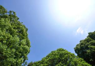 新緑のクスノキの写真素材 [FYI01441961]