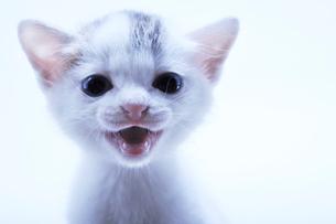 訴える子猫の写真素材 [FYI01442346]
