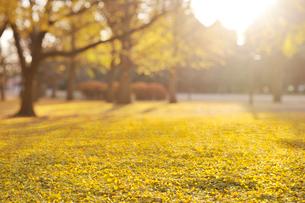イチョウ並木の黄葉と落ち葉の写真素材 [FYI01442498]