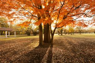代々木公園のカエデの紅葉の写真素材 [FYI01442697]