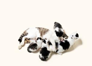 親猫と4匹の子猫の写真素材 [FYI01442826]