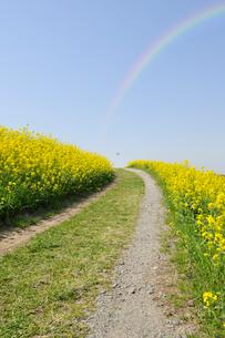 虹と江戸川土手の満開の菜の花と小道の写真素材 [FYI01442845]