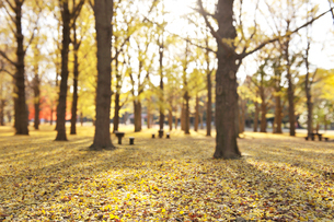 イチョウ並木の黄葉と落ち葉の写真素材 [FYI01442899]