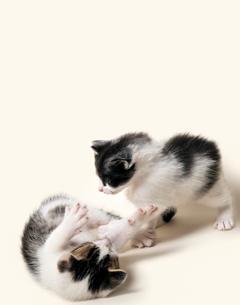 子猫のけんかの写真素材 [FYI01442913]