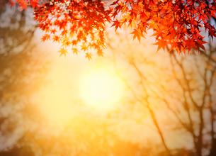 紅葉と朝日の写真素材 [FYI01443040]