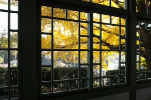 ブラフ18番館の窓とイチョウの黄葉の写真素材 [FYI01443291]