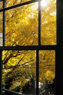 ブラフ18番館の窓とイチョウの黄葉の写真素材 [FYI01443367]
