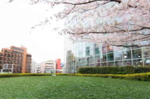 桜の花と芝生の写真素材 [FYI01443539]