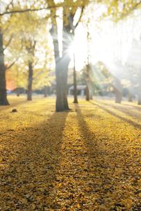 朝日に輝く黄葉のイチョウの写真素材 [FYI01443562]