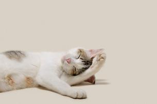 くつろぐ母猫の写真素材 [FYI01443616]