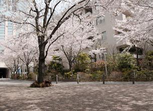 六本木さくら坂の桜並木の写真素材 [FYI01443653]