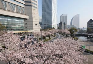 満開の桜並木のさくら通りの写真素材 [FYI01443881]