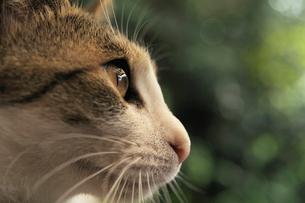 猫の横顔の写真素材 [FYI01443895]