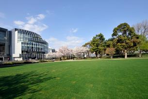 広大な芝生と満開のソメイヨシノの写真素材 [FYI01443914]