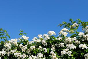 白いバラの花と快晴の青い空の写真素材 [FYI01443930]