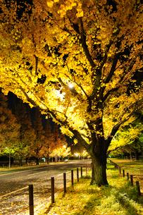黄金色に輝く神宮外苑イチョウ並木の写真素材 [FYI01443964]