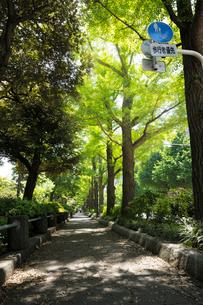 新緑の山下公園通りの歩道の写真素材 [FYI01443998]