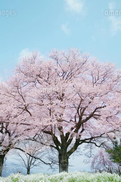 満開の桜の木の写真素材 [FYI01444052]