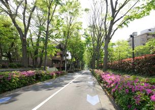 ツツジの花とケヤキ並木の道の写真素材 [FYI01444060]