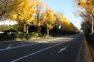 山下公園通りと銀杏並木の黄葉の写真素材 [FYI01444063]