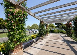 山下公園の石畳のテラスとバラの花の写真素材 [FYI01444113]