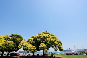山下公園のマテバシイの大木と横浜港の写真素材 [FYI01444128]