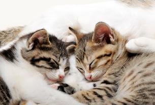 母猫のお腹で眠る子猫の写真素材 [FYI01444145]