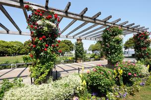 山下公園の石畳のテラスとバラの花の写真素材 [FYI01444153]