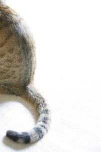 猫のしっぽの写真素材 [FYI01444283]