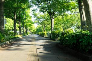 早朝の新緑の山下公園通りの歩道の写真素材 [FYI01444438]