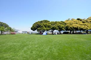 山下公園の新緑の芝生広場とマテバシイの大木の写真素材 [FYI01444467]