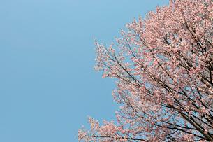 青空と満開の桜の写真素材 [FYI01444517]