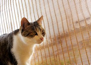 猫と簾の写真素材 [FYI01444628]