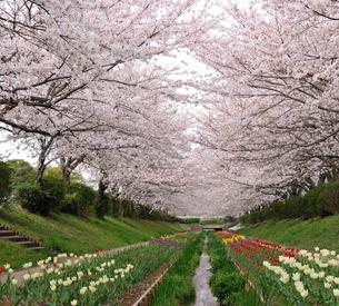 満開の桜とチューリップの花の写真素材 [FYI01444865]