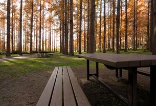 メタセコイアの森とピクニックテーブルの写真素材 [FYI01444888]