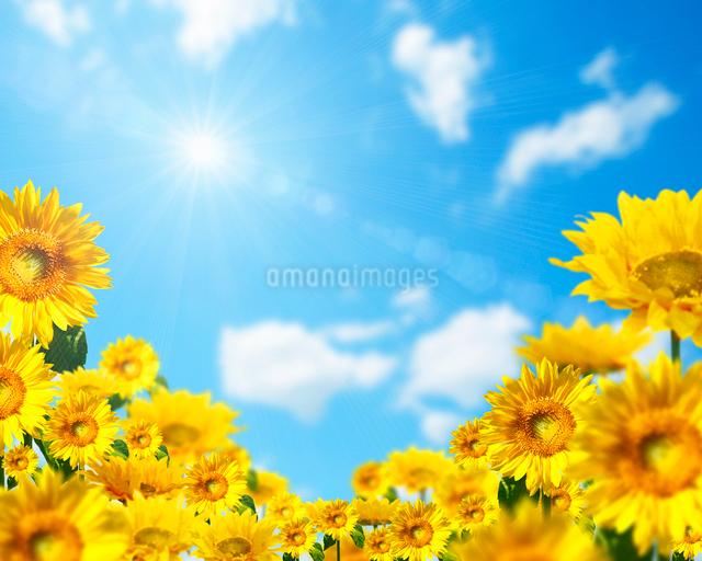 青空とひまわり畑の写真素材 [FYI01444971]