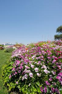 山下公園の花と豪華客船の写真素材 [FYI01445023]